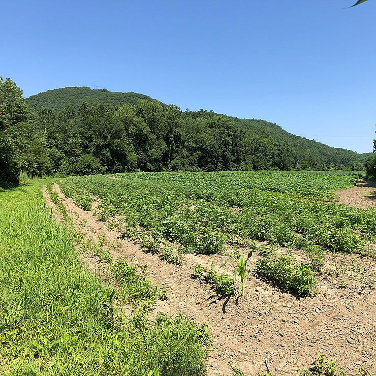Vegetable plants rows in the field with Fall Mountain in background