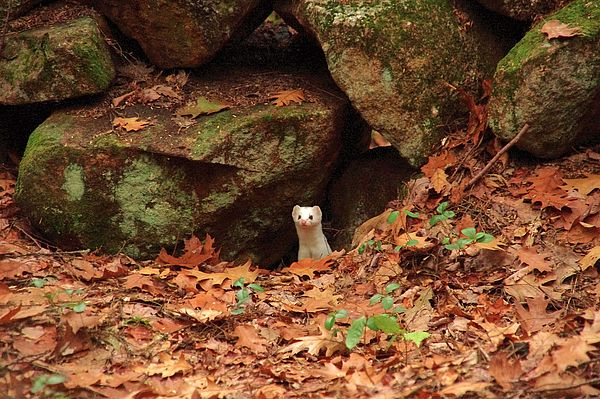 White short-tailed weasel peeking out from stone wall