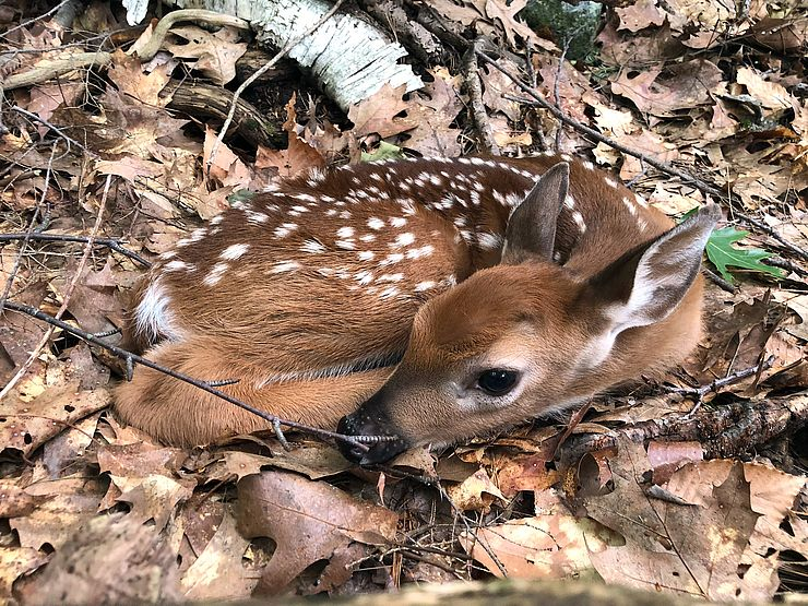 White-tailed deer fawn curled up in leaf nest