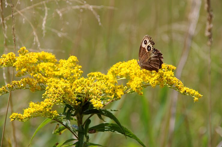 Common wood-nymph butterfly perched on goldenrod flower